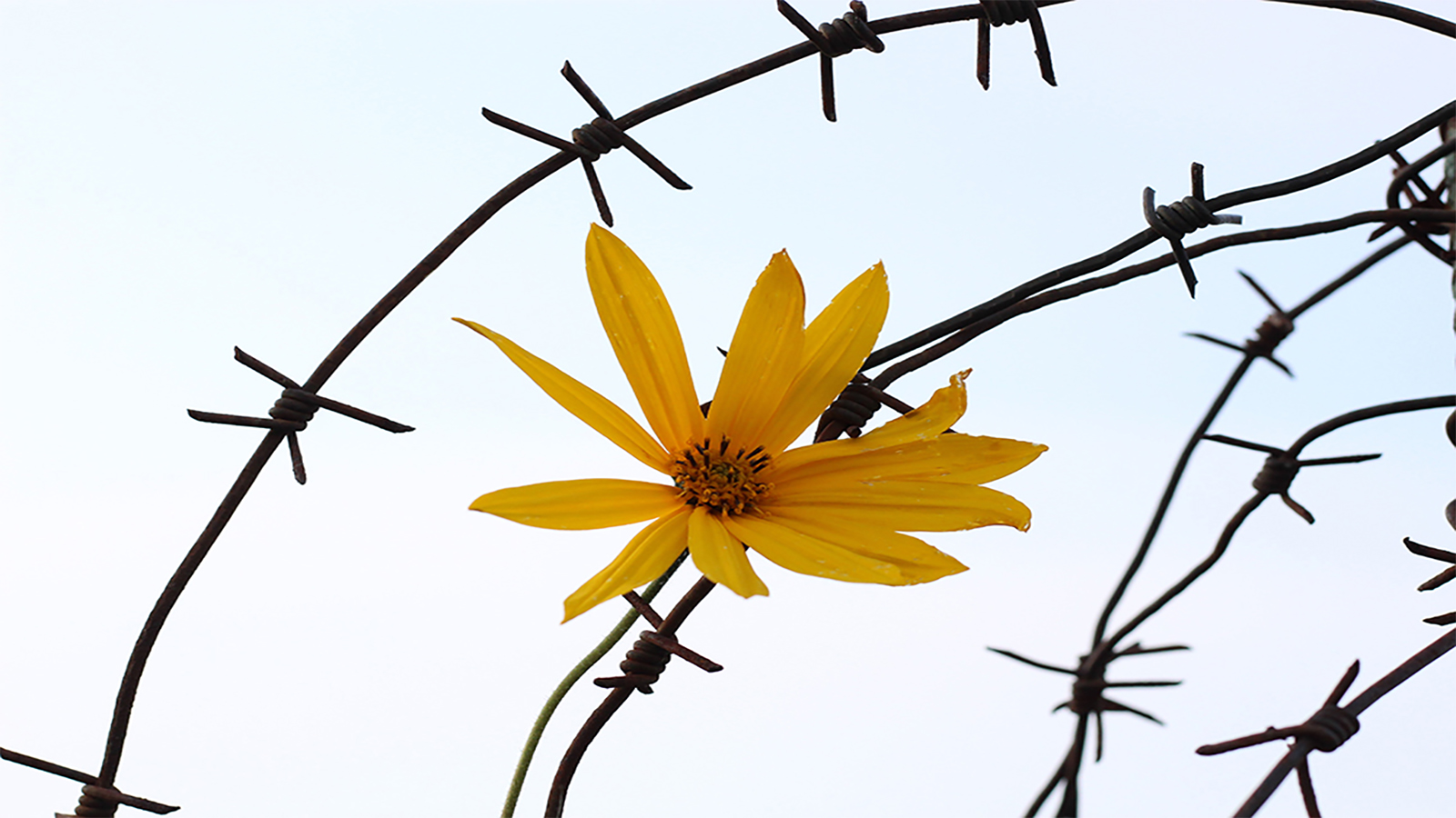 Barbed wire flower